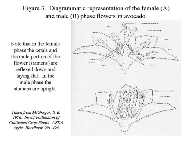 Figure #3 Diagram of avocado flowers