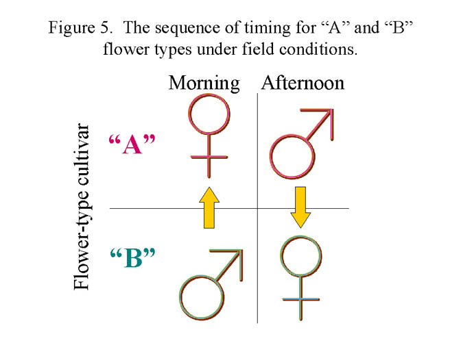 Figure #5 Sequence of flower types