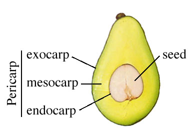 What Kind Of Fruit Is Avocado